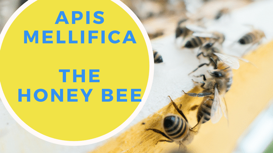 Apis Mellifica - Homeopathic Remedy - Homoeopathicology